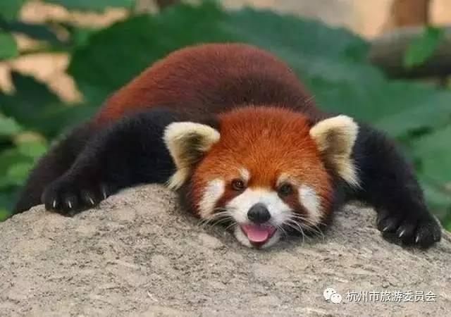 外表呆萌可爱的小熊猫 小熊猫和大熊猫一样,      ▲保育员在给