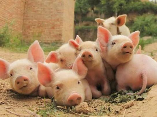 养猪人应该知道,1月还有四次高价出栏的机会