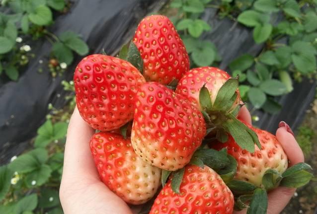 又是一年草莓时,看到这里我已经坐不住了!图片