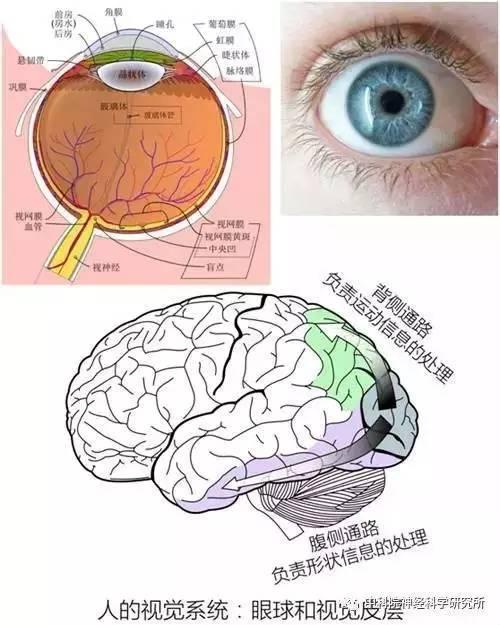 的视觉系统:人眼的解剖结构以及视皮层的信息流-视觉错觉 窥探大