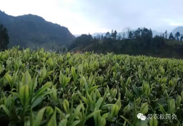 茶树结冰图片