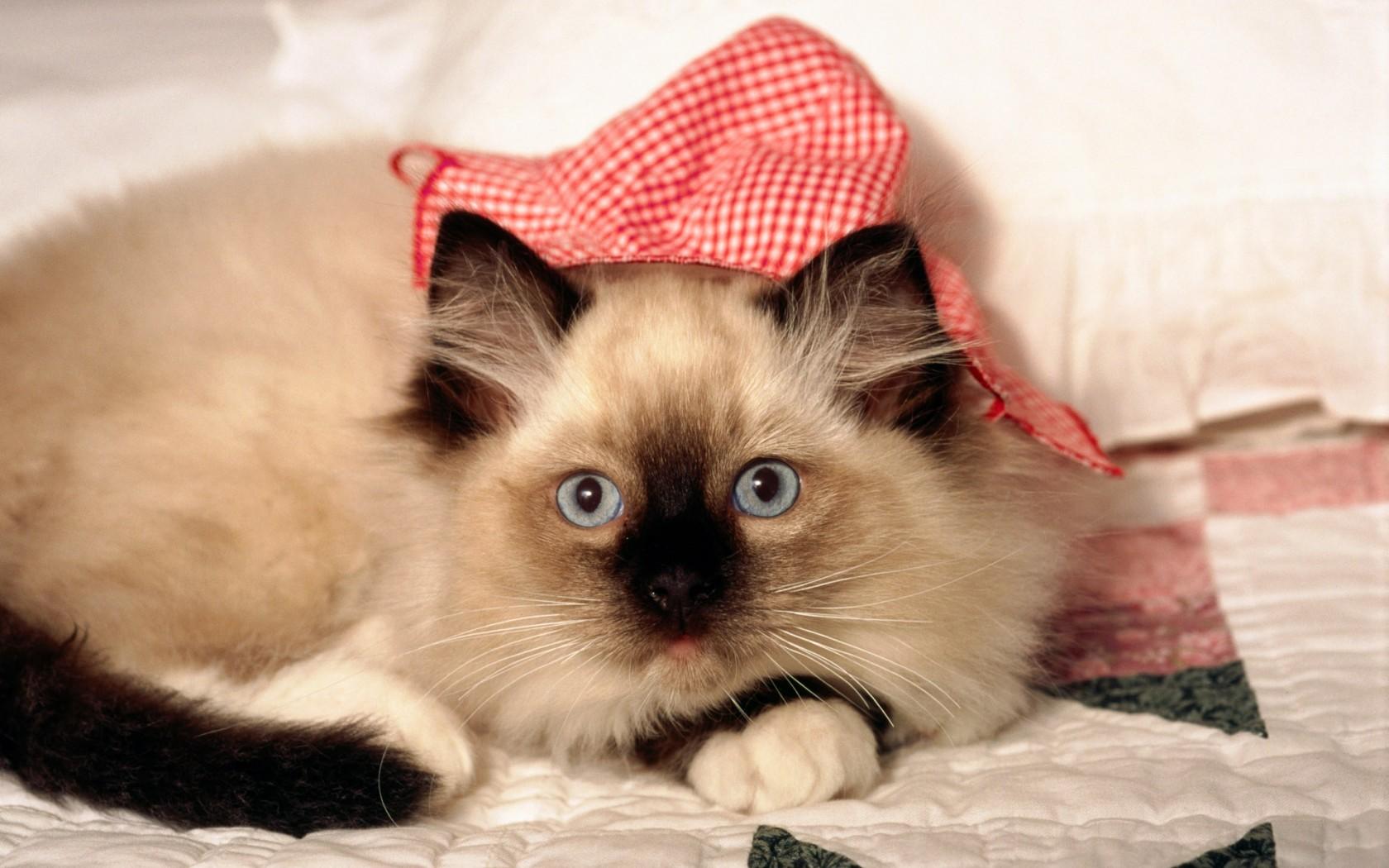 小猫发情有什么特征图片