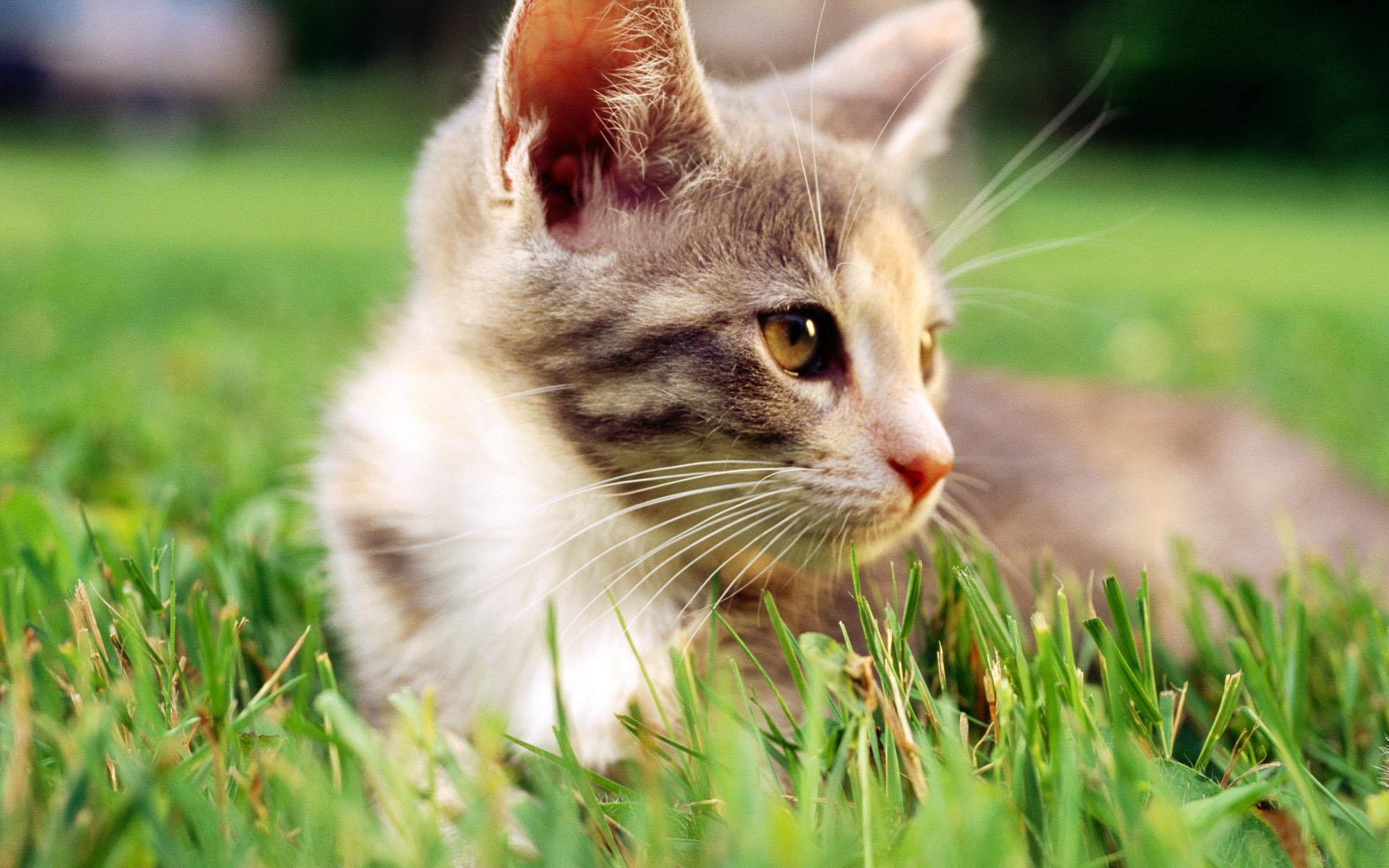 猫发情期的表现图片