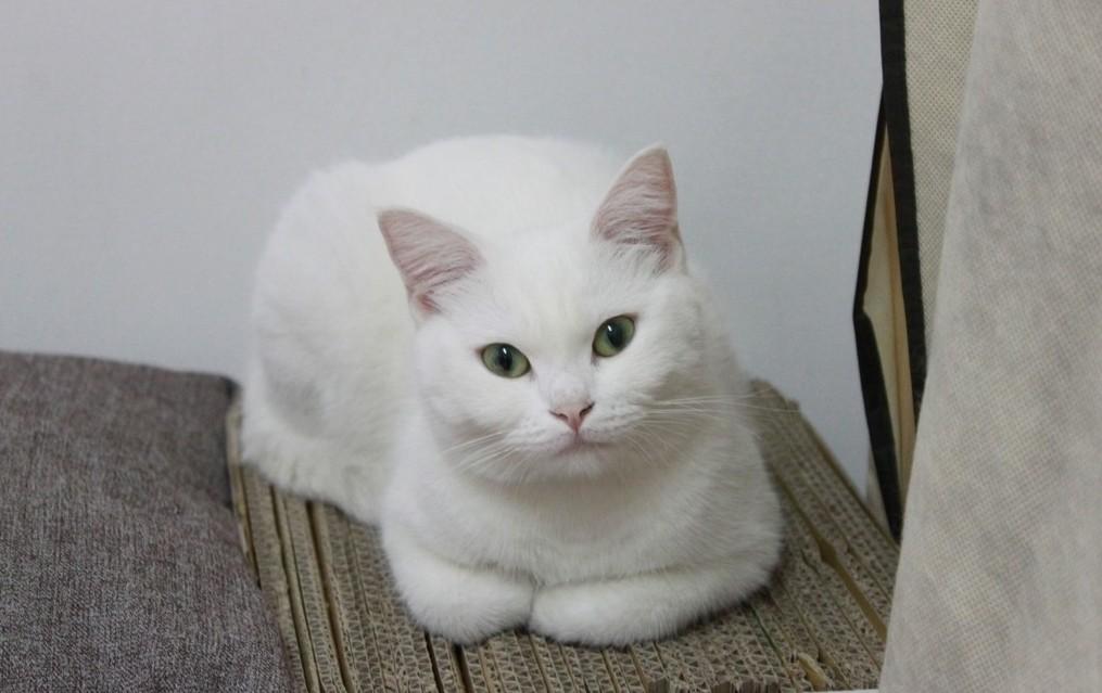 公猫发情的表现图片