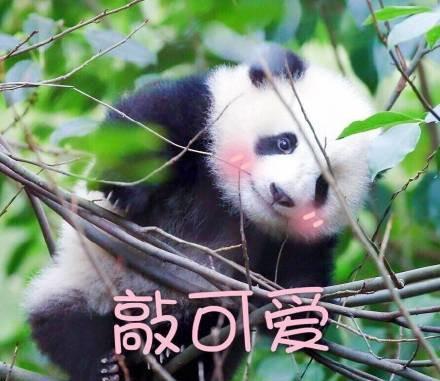 这些软软糯糯的小团子多来自熊猫繁殖基地,每天饲养员奶爸、奶妈们