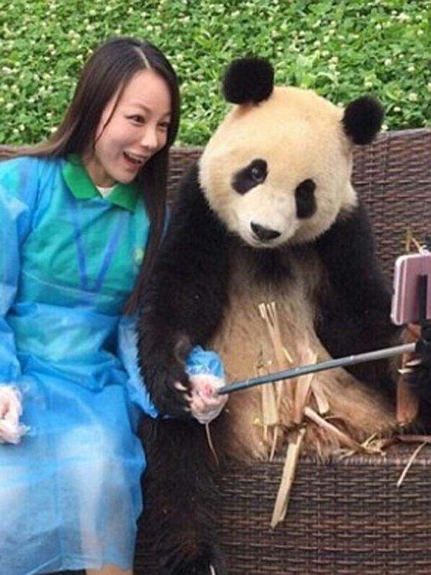 在其它照片里,这只将近1岁超可爱的熊猫宝宝,把爪放在下巴下,这是超
