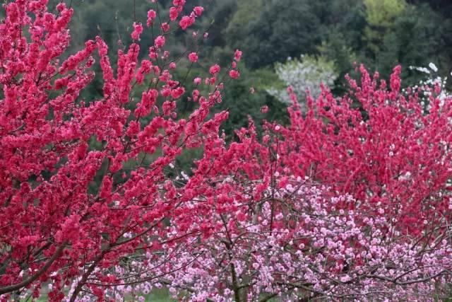 800亩花海惊现广州!转两圈,包你2017年桃花旺到飞起!
