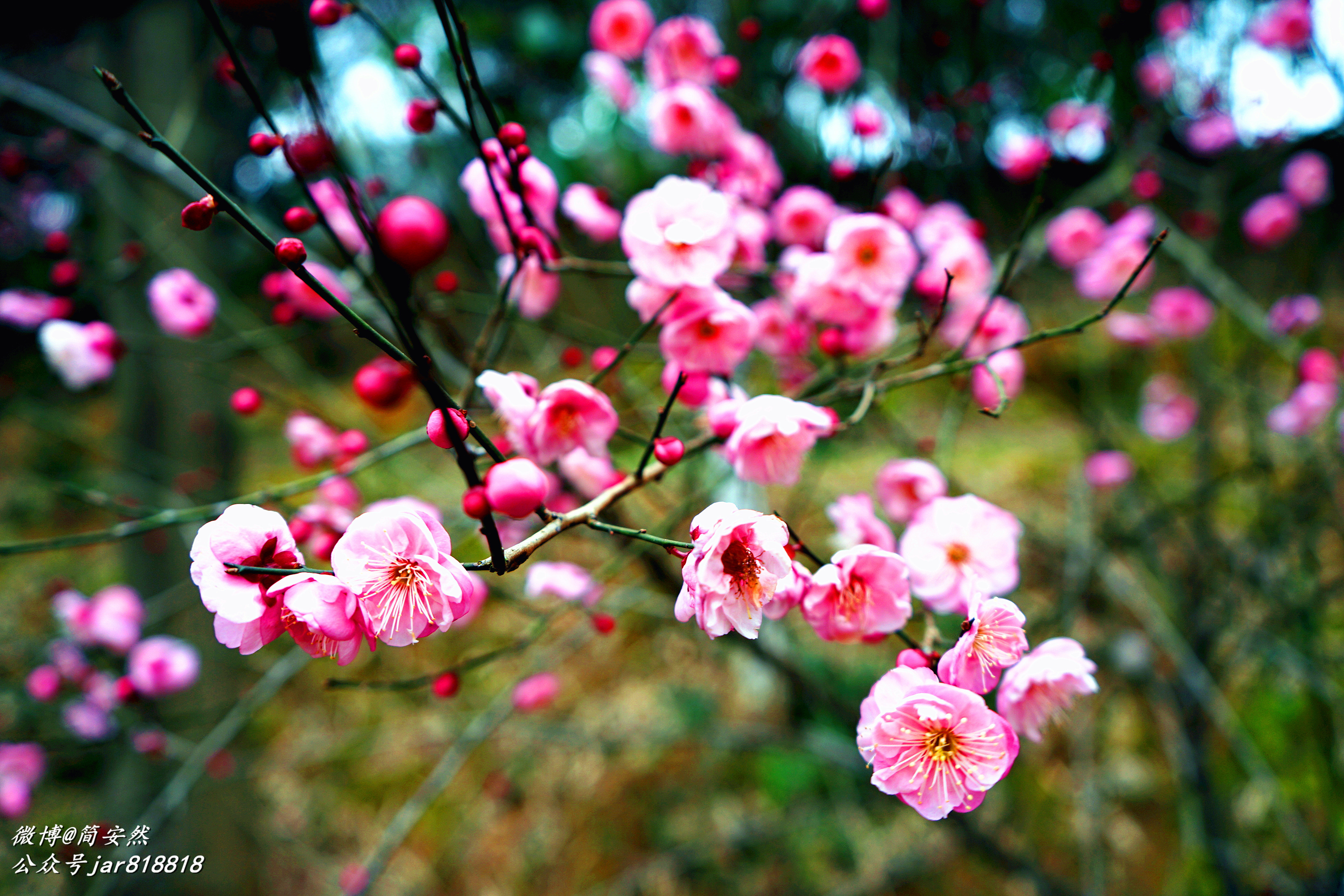 武汉花乡茶谷寒梅花开早,云蒸霞蔚赏花正当时