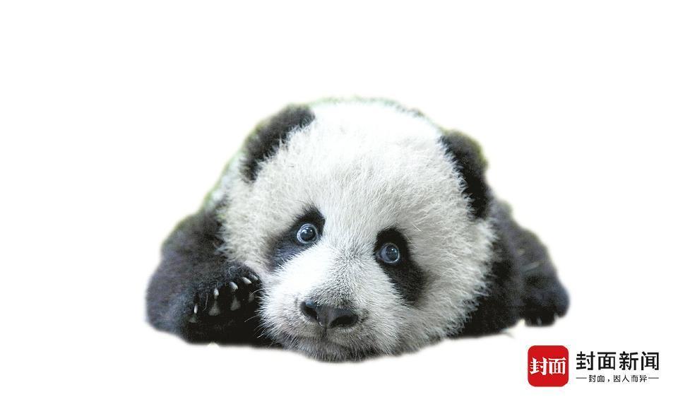 """大熊猫屡发意外死亡 难逃""""人祸""""却不见追责 - 梅思特 - 你拥有很多,而我,只有你。。。"""