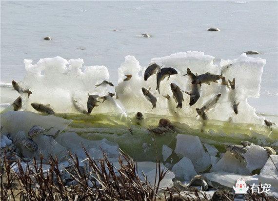天气是有多冷? 湖鱼跃出水面时被冰封在空中