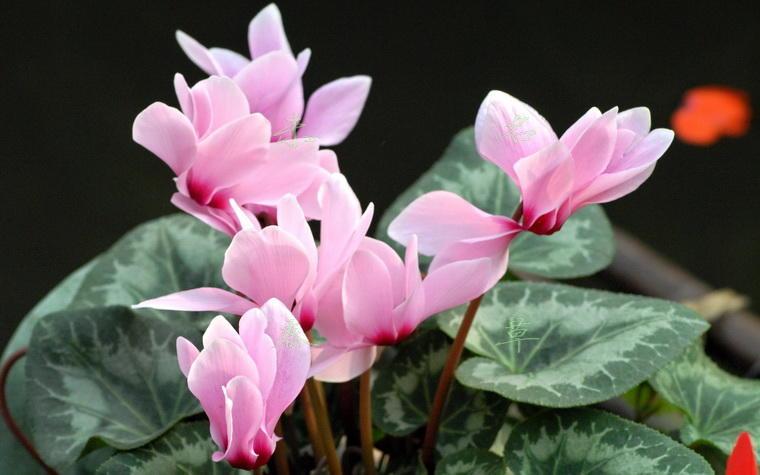 12生肖,都有对应的荣幸植物,看看你合适养什么?