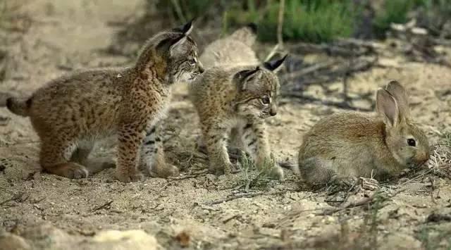 是全球最濒危的猫科动物