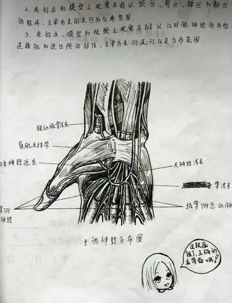 美呆了!美女医学生手绘人体解剖图走红