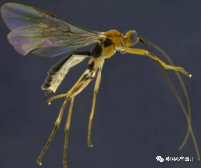 碧昂斯马蝇 科学家们脑洞起来,这些物种名都是真的