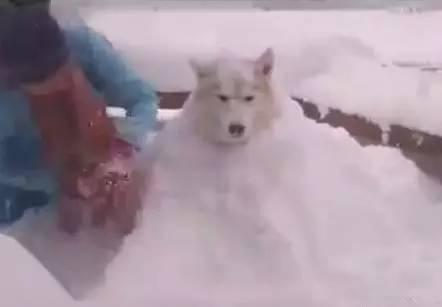 哈士奇被主人用雪堆成了雪狗,二哈一脸绝望,简直生无可恋!图片