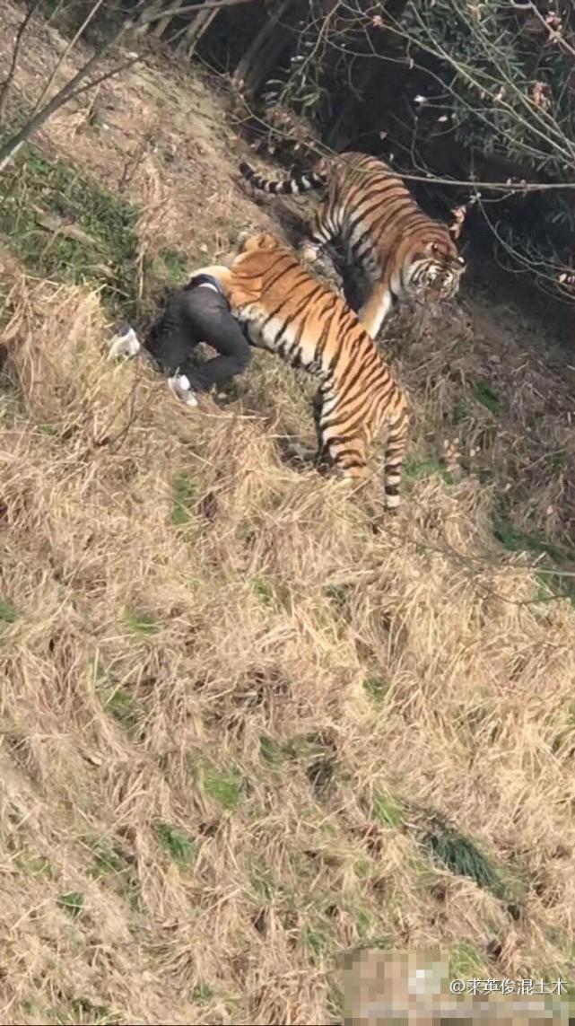 [视频]宁波一动物园老虎咬人