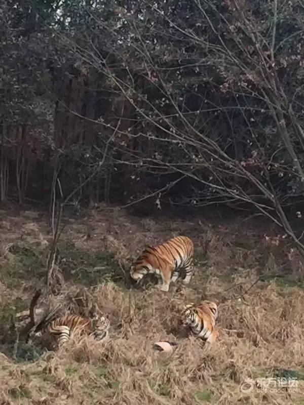 雅戈尔动物园老虎视频