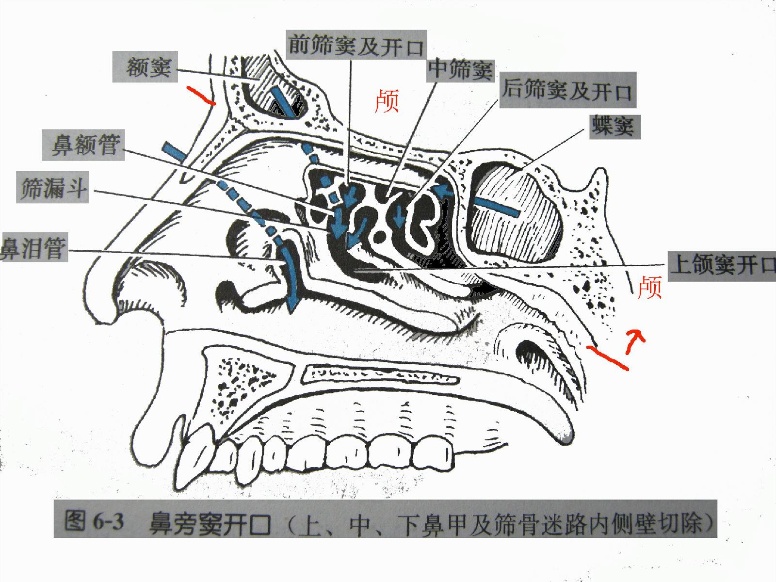 经验分享面部共鸣解剖结构