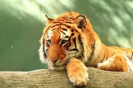 宁波雅戈尔动物园发生一起老虎咬人事件