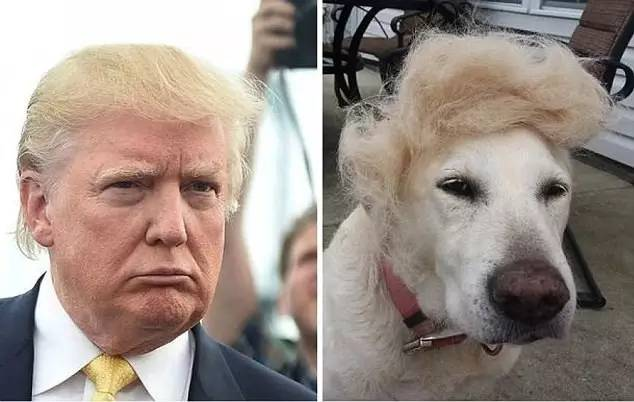 """狗也来了~ 宠物鸟,宠物鼠,甚至玉米,饭团等, 都被人们做出了""""川普发型图片"""