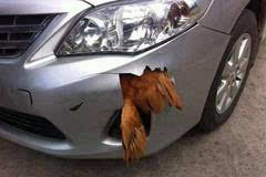 男子开丰田撞了一只鸡,鸡无大碍,这车真是没法看了!