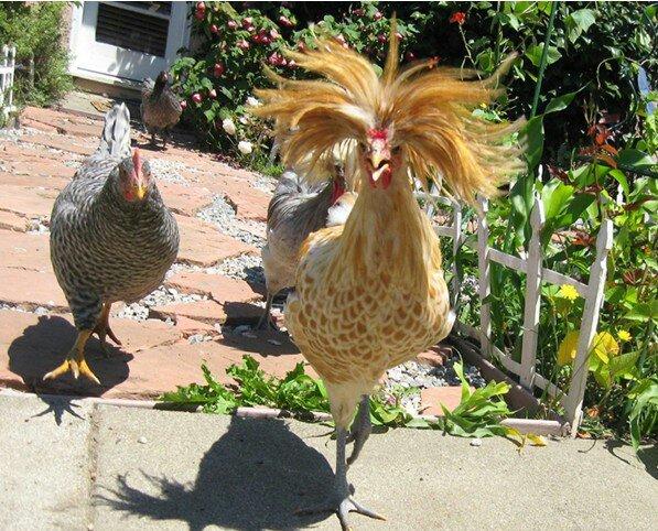 见过鸡,没见过这么全的 太漂亮了