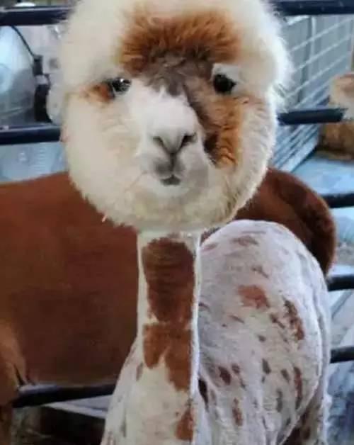 剪刀下的发型:这发型不到图片做齐肩啊!偏分出门烫发臣妾宠物图片