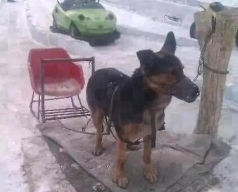 狗拉雪橇被活活累死,请大家不要在坐了! - 梅思特 - 你拥有很多,而我,只有你。。。