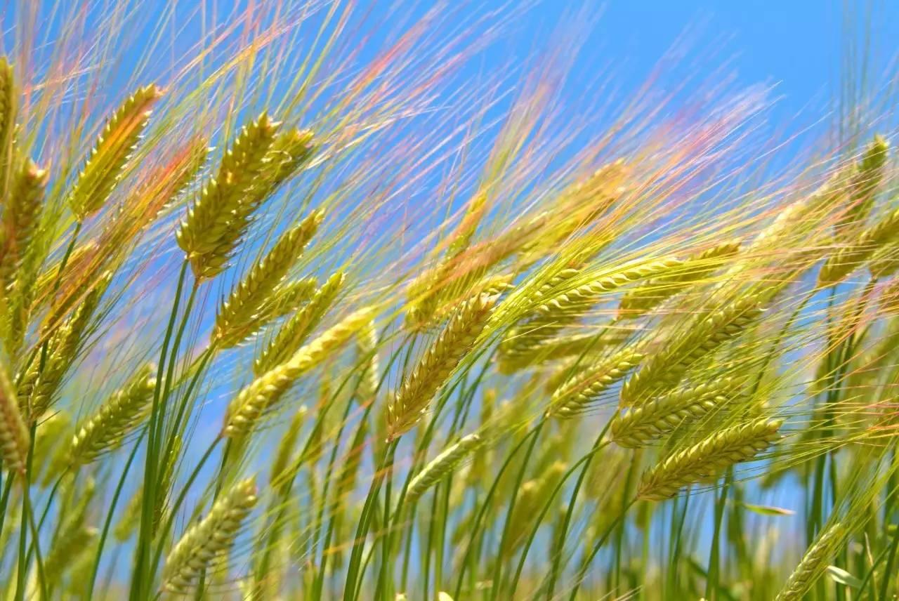 市农业技术人员提醒:抓住有利时机做好麦草秋治