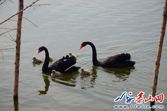 山东泰安黑天鹅夫妇5颗蛋被盗后绝食多日,已重新补巢下蛋 - 梅思特 - 你拥有很多,而我,只有你。。。