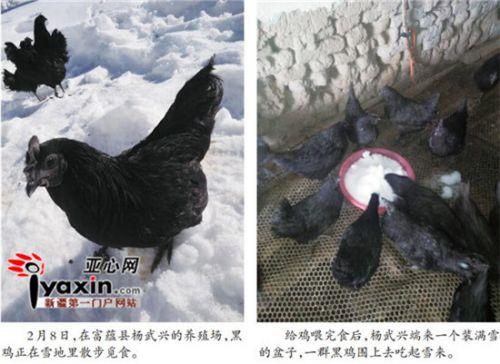 新疆富蕴黑鸡被自治区畜牧厅认定