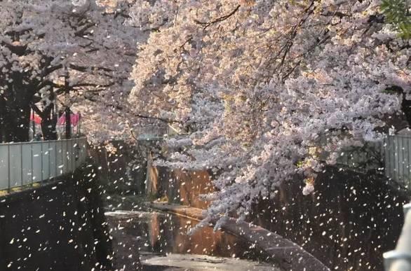 赏花游拉开大幕日本赏樱人气旺