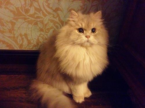 猫咪应激反应表现图片