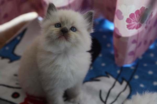布偶猫什么颜色最好图片