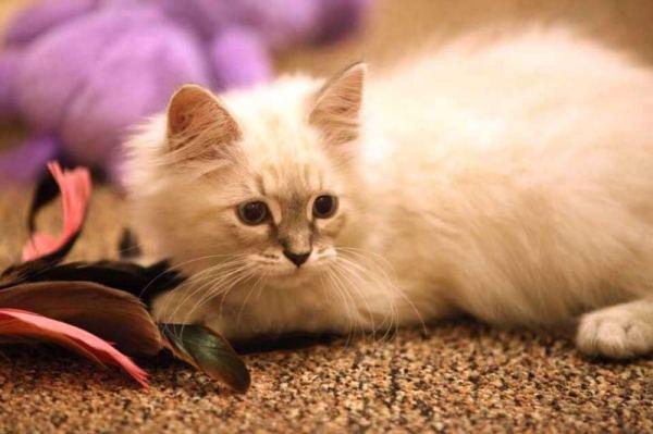 北流市有布偶猫买吗图片