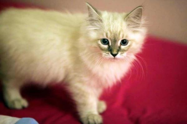 养一只布偶猫的开支图片