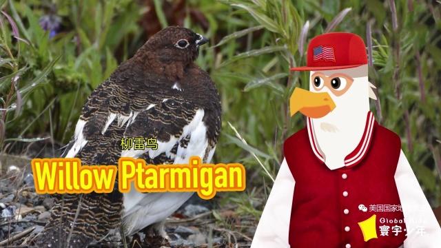 阿拉斯加州的州鸟是柳雷鸟
