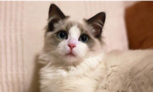 布偶猫的价格多少图片