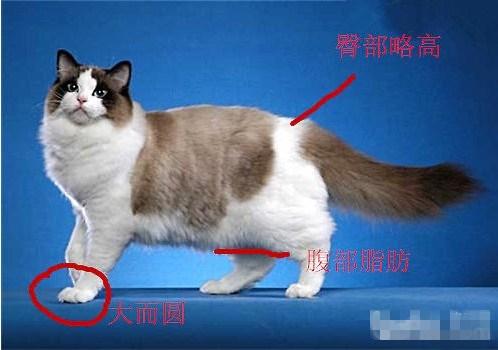 布偶猫怎么看品相图片