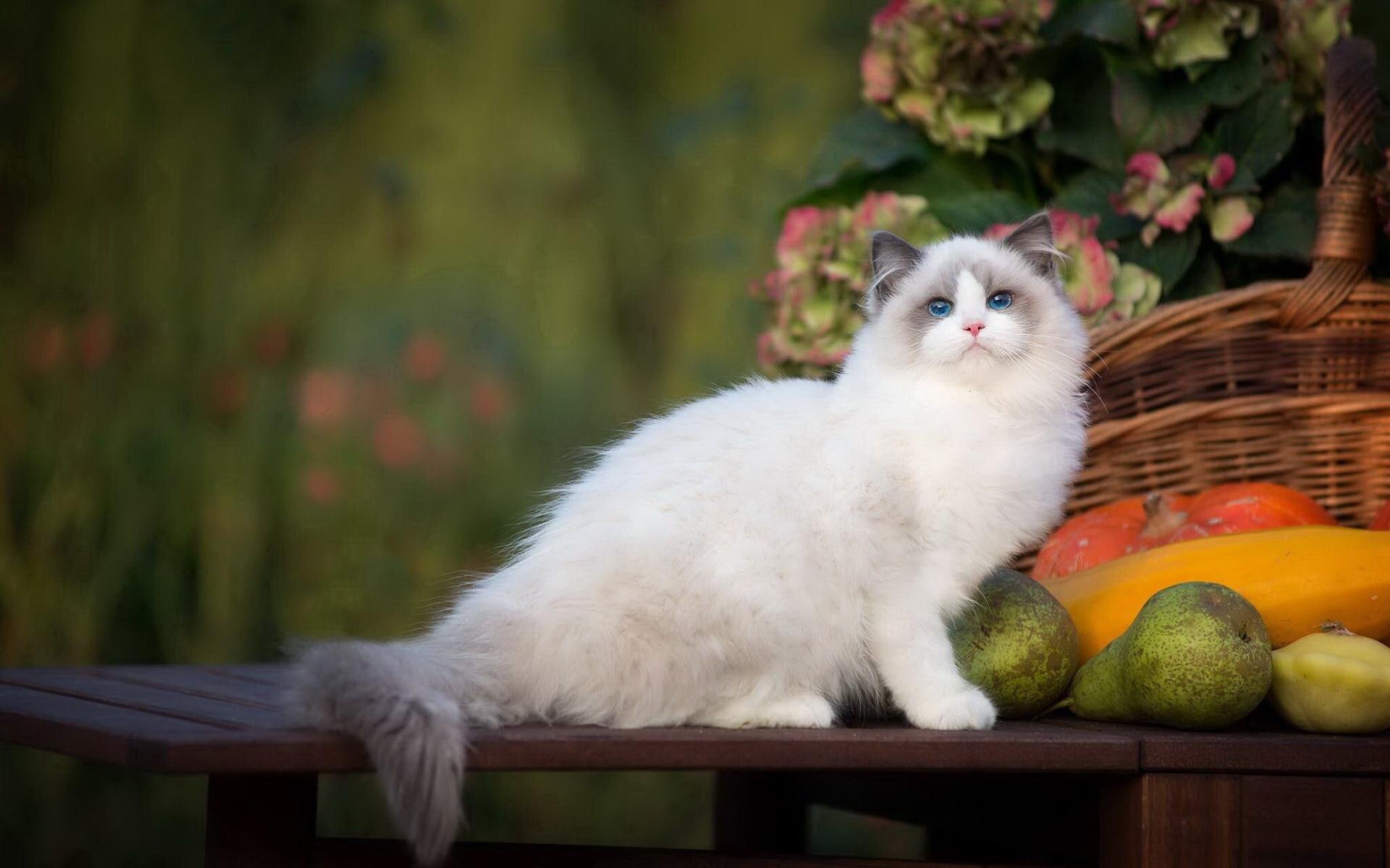 布偶猫怎么养图片
