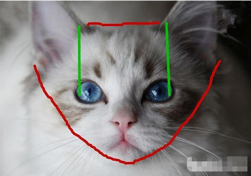 布偶猫的大概价格图片