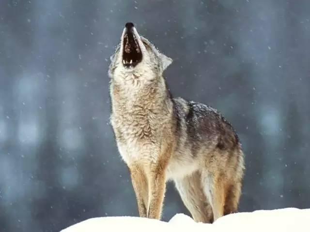 狼的格言! - 笑面狼 - 笑面狼欢迎朋友来做客!