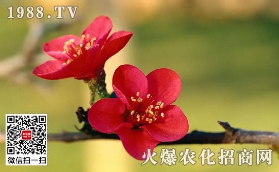 盆栽梅花开花后怎么管理图片