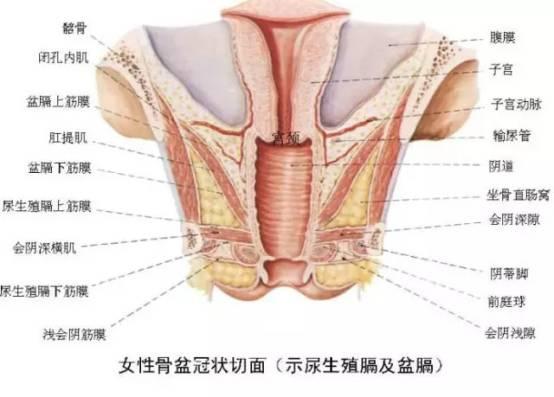 老女人的阴唇_女性的阴道口紧挨着尿道口,二者被两侧的小阴唇保护起来,向上是阴蒂