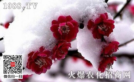 盆栽梅花什么时候开花图片