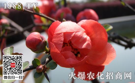 盆栽梅花发芽图片