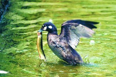 迷鸟丑鸭首现京城 疑因迁徙等原因误落在北京 - 梅思特 - 你拥有很多,而我,只有你。。。