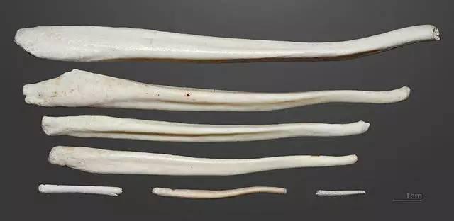各种形状和尺寸的阴茎骨.图片来源:Didier Descouens, CC BY-SA-