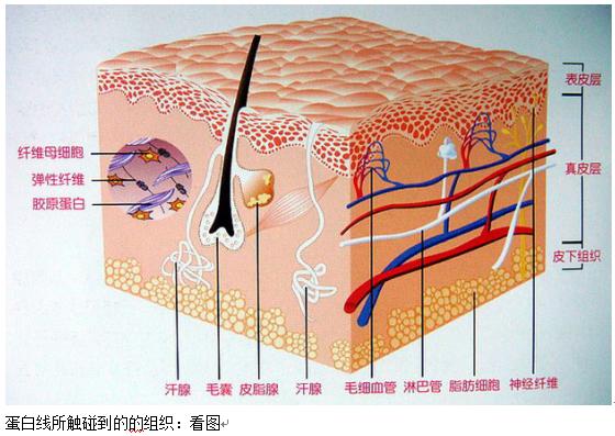 蛋白质埋线减肥原理是什么_埋线减肥是什么