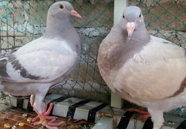 鸽子分公母最简单方法 怎么看鸽子公母最准确图片